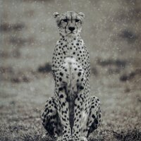 CHEETAH IN THE RAIN, Photo