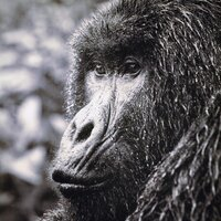GORILLA IN THE RAIN, Photo